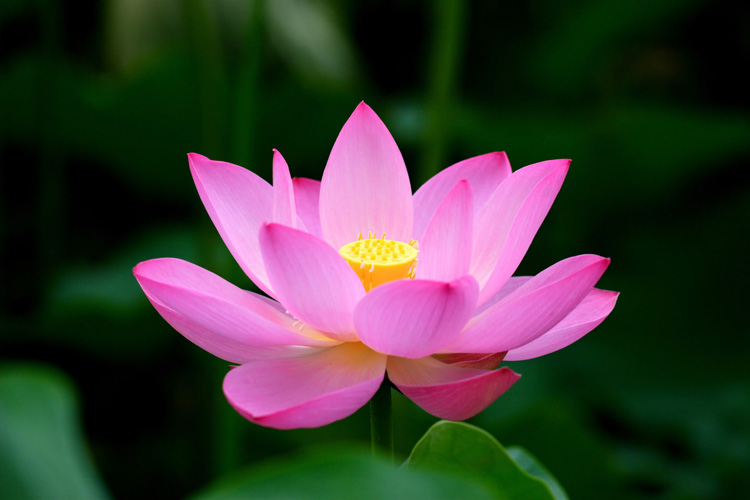 Lotus symbol in vietnamese culture vietnam online lotus flowers play an important role and special position in both vietnamese spirit and culture from long time ago up to now lotus flowers have been in mightylinksfo