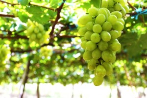 Harvest Grape And Slide Sand In Phan Rang- Cham Tower