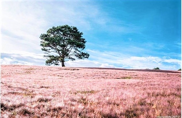 Pink grass