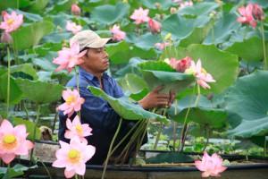 Beautiful lotus flowers in Hue