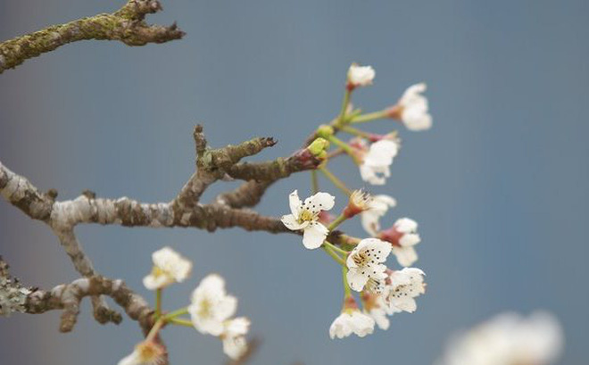 Thanh Minh often occurs in pear flower season