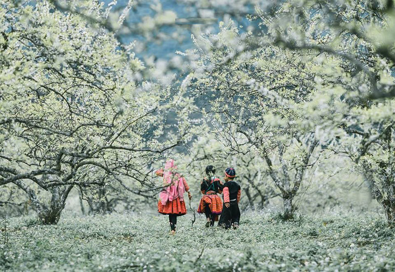 Moc Chau in plum blossom flower season