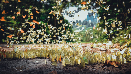 Beautiful flock of butterflies in Cuc Phuong National Park.