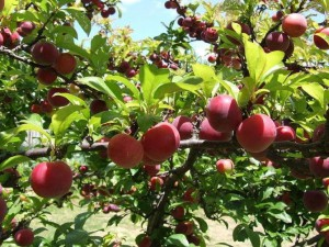 Ripe plums in Moc Chau are ready to be picked