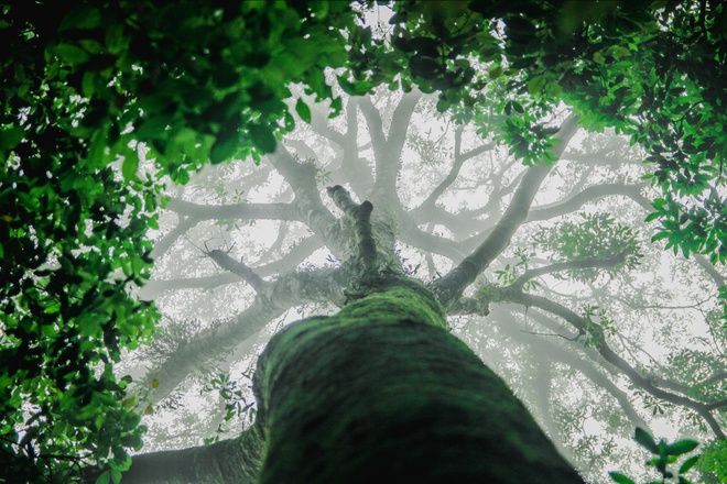The mythical beauty of an ancient tree in Tam Dao national park