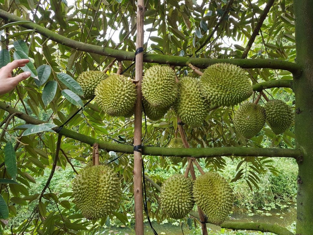 Ugly, thorny durians on branches
