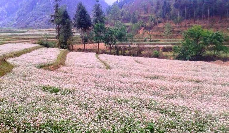 Buckwheat flowers cover terraces