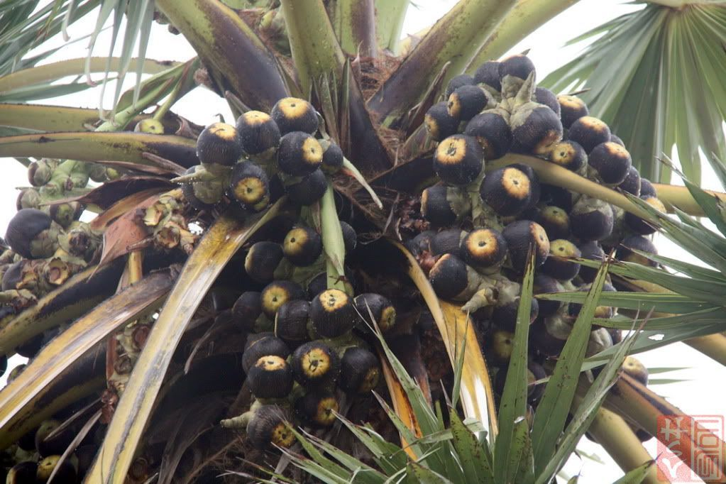 Palmyra palm fruit-one of the most important ingredient for Banh Bo