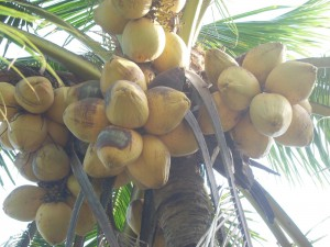 Wax coconuts-the specialty of Tra Vinh province that could be found nowhere else in Vietnam