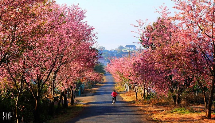 The stunning road of cherry blossom in Da Lat