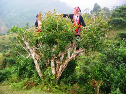 Ladies from an ethnic group in Vietnam harvesting tea leaves from an ancient tea tree
