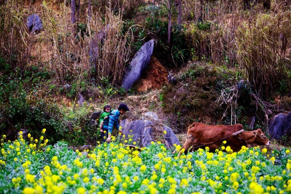 Rapeseed flowers bloom on the stone plateau