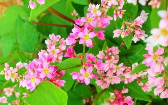 Tiny buckwheat flowers