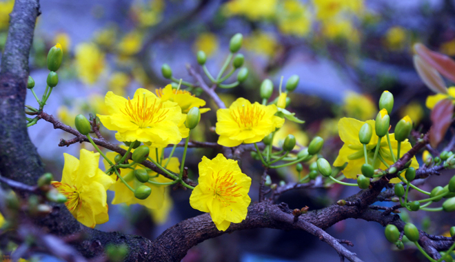 Apricot blossom, the popular flower for Tet in the South of Vietnam