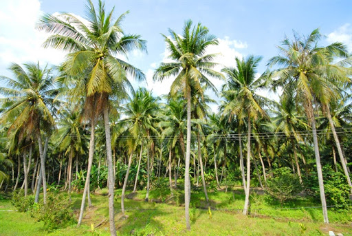 The garden of coconut at Cau Ke, Tra Vinh, the only place that can nurtures wax coconut